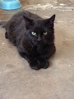 Domestic Mediumhair Cat for adoption in Wichita Falls, Texas - Scooter Booter