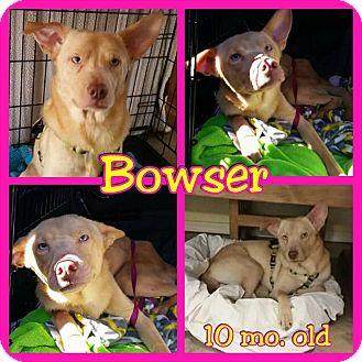 Australian Kelpie Mix Puppy for adoption in Mesa, Arizona - Bowser