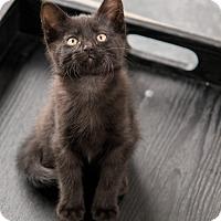 Adopt A Pet :: Newhart - Chicago, IL