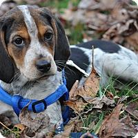Adopt A Pet :: Little Bit - Chesapeake, VA