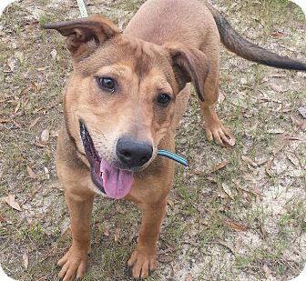 Shepherd (Unknown Type) Mix Dog for adoption in Macon, Georgia - Blade