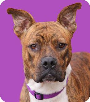 American Pit Bull Terrier/Boxer Mix Dog for adoption in Wichita, Kansas - Mack