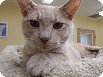 Domestic Shorthair Cat for adoption in Lake Charles, Louisiana - Dusty