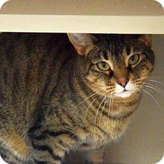 Domestic Shorthair Cat for adoption in Denver, Colorado - Izzee