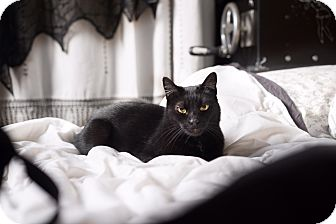 Domestic Shorthair Cat for adoption in Los Angeles, California - Penelope