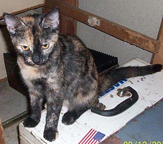 Domestic Shorthair Kitten for adoption in Morriston, Florida - Phanta