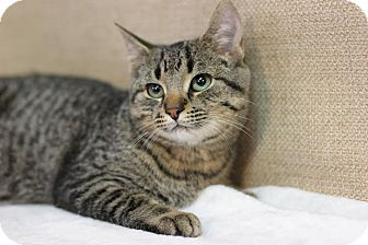 Domestic Shorthair Cat for adoption in Midland, Michigan - Marena