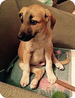 Labrador Retriever/Shepherd (Unknown Type) Mix Puppy for adoption in Encino, California - Pasha - Iran Pup
