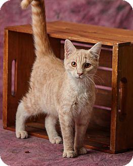 Domestic Shorthair Kitten for adoption in Harrisonburg, Virginia - Stitch