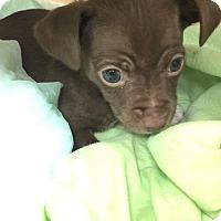 Adopt A Pet :: Kona-Joe - Los Angeles, CA