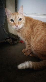 Domestic Shorthair Cat for adoption in Jackson, Missouri - Pumpkin