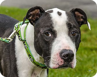 American Staffordshire Terrier Mix Dog for adoption in Middlebury, Connecticut - Ben- IN SHELTER ONE YEAR