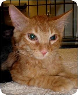 Domestic Shorthair Kitten for adoption in Yorba Linda, California - Cheeto
