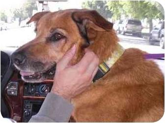 Golden Retriever/Shepherd (Unknown Type) Mix Dog for adoption in Burbank, California - BARNEY BEAR