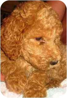 Poodle (Standard) Puppy for adoption in Osseo, Minnesota - Georgie