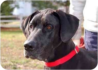 Great Dane Dog for adoption in Murfreesboro, Tennessee - Fergie