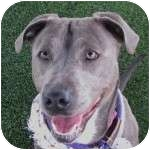 Weimaraner Mix Dog for adoption in Eatontown, New Jersey - Duchess