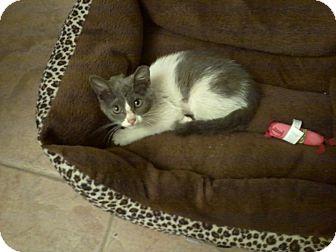 Domestic Mediumhair Kitten for adoption in Phoenix, Arizona - Phantom