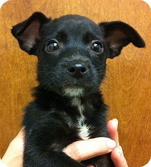 Chihuahua Mix Puppy for adoption in Oswego, Illinois - Jalapeno