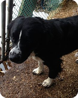 Border Collie/Bernese Mountain Dog Mix Dog for adoption in Wanaque, New Jersey - LOBO