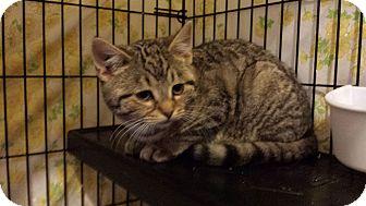 Domestic Shorthair Kitten for adoption in East Brunswick, New Jersey - Jingle