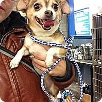 Adopt A Pet :: Pork Chop - Chicago, IL