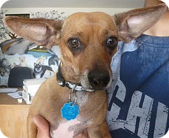 Chihuahua/Dachshund Mix Dog for adoption in Colorado Springs, Colorado - Sassy