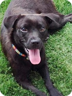 Labrador Retriever Mix Dog for adoption in Charlotte, North Carolina - Laney