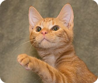 Domestic Shorthair Kitten for adoption in Elmwood Park, New Jersey - Buddy