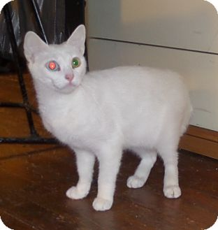 Domestic Shorthair Cat for adoption in East Brunswick, New Jersey - Noel