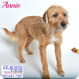 Border Terrier/Wheaten Terrier Mix Dog for adoption in Laplace, Louisiana - Annie