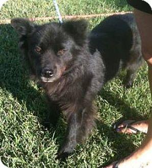 Chow Chow/Border Collie Mix Dog for adoption in Seahurst, Washington - Ellie Mae