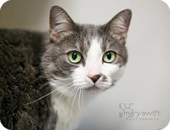 Domestic Shorthair Cat for adoption in Reisterstown, Maryland - Makayla