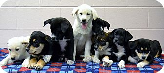 Hound (Unknown Type)/Labrador Retriever Mix Puppy for adoption in Michigan City, Indiana - 4 FEMALE PUPPIES (4 on right)