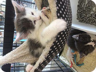 Domestic Longhair Kitten for adoption in Clay, New York - Kittens
