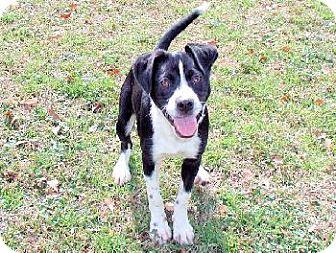 Border Collie/Boston Terrier Mix Dog for adoption in Wetumpka, Alabama - #72440 'Katy'