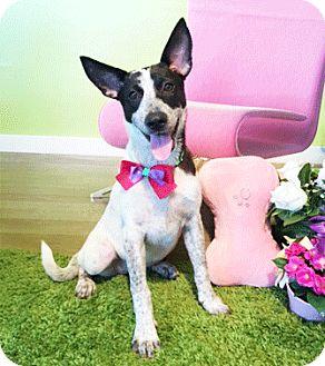 Labrador Retriever/Collie Mix Dog for adoption in Castro Valley, California - Jess