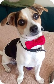 Jack Russell Terrier Mix Puppy for adoption in Irvine, California - MIKEY