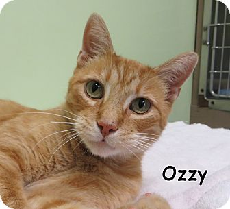 Domestic Shorthair Cat for adoption in Warren, Pennsylvania - Ozzy
