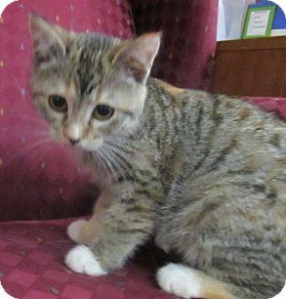 Domestic Shorthair Kitten for adoption in Lloydminster, Alberta - Pumpkin