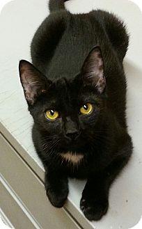 Domestic Mediumhair Cat for adoption in Statesville, North Carolina - Batman