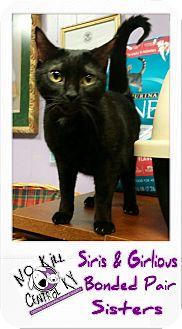 Domestic Shorthair Cat for adoption in Lancaster, Kentucky - Siris & Girlious