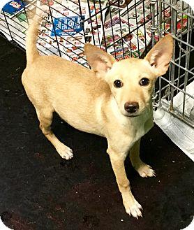 Australian Kelpie/Border Terrier Mix Puppy for adoption in Phoenix, Arizona - Janet