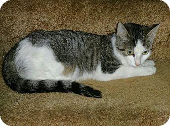 Domestic Shorthair Cat for adoption in Walworth, New York - Conrad