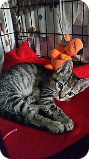 Domestic Shorthair Kitten for adoption in Riverview, Florida - Biggie
