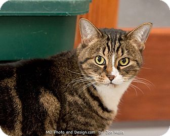 Domestic Shorthair Cat for adoption in Fountain Hills, Arizona - Raja
