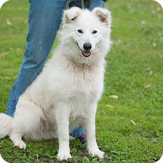Great Pyrenees/Samoyed Mix Dog for adoption in New Martinsville, West Virginia - Rio