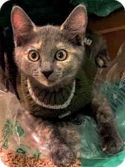 Domestic Shorthair Kitten for adoption in Myrtle Beach, South Carolina - Tiffany