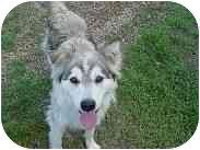Siberian Husky Mix Dog for adoption in Athabasca, Alberta - TIA