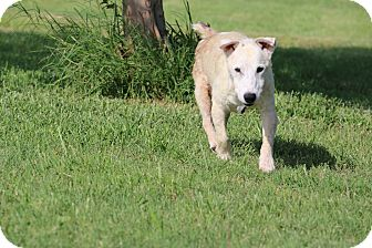 Jack Russell Terrier Dog for adoption in Seguin, Texas - Frank